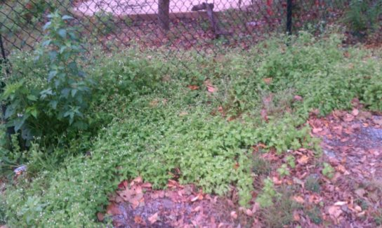 Mouse-ear-chickweed