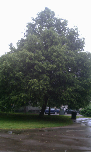 Beloved Linden Tree (Image by Michael Blackmore - Mad Crow Herbalism)