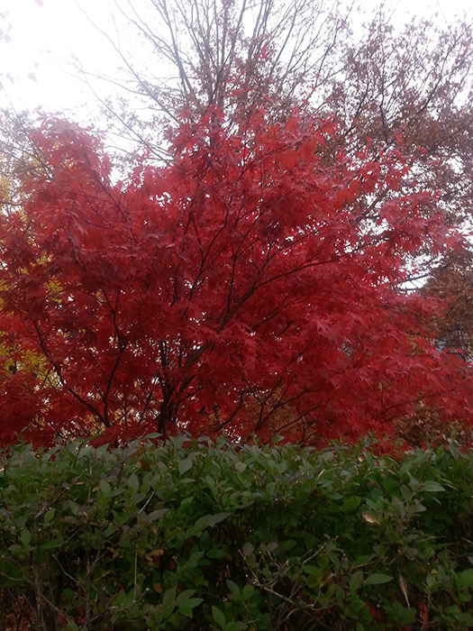 Fall Beauty in Boston - (Image by Michael Blackmore Mad Crow Herbalism)